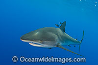Dusky Shark Photo - Chris & Monique Fallows