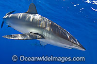 Silky Shark Photo - Chris & Monique Fallows