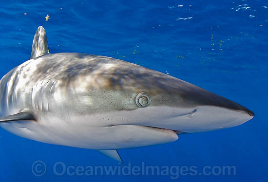 "Silky Shark – ""OCEAN TREASURES"" Memorial Library"