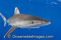 Silvertip Shark Photo - Chris & Monique Fallows