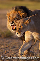 Lion male and female photo