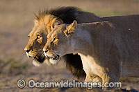 Lion male and female