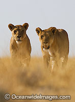 Lions walking through grass
