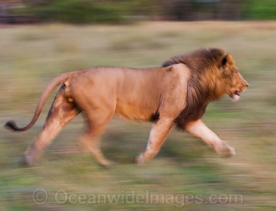 Lion (Panthera leo) adult male running. Found in sub-Saharan Africa Photo - Chris & Monique Fallows