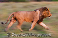 Lion running photo