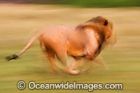 Lion male running