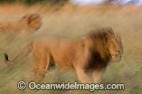 Lion walking through grass