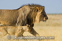 Lion male and cub