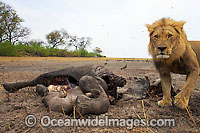 Lion male at carcass