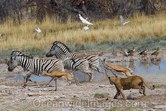 Lion (Panthera leo) female hunting Thomson's Gazelle (Eudorcas thomsonii) and Plains Zebra (Equus burchelli). Found in sub-Saharan Africa Photo - Chris & Monique Fallows