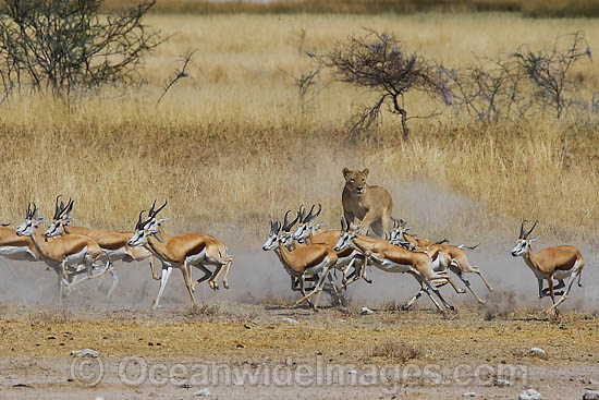 gazelle running from lion - photo #23
