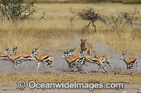Lion hunting Gazelle