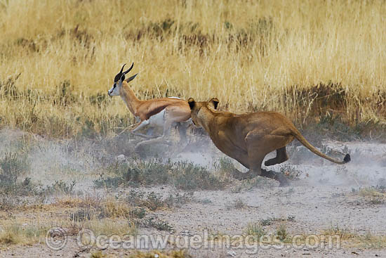 gazelle running from lion - photo #19