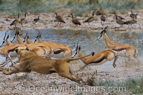 gazelle running from lion - photo #30