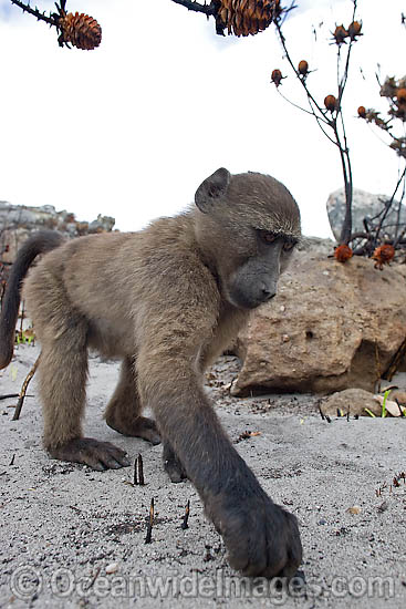 Chacma Baboon (Papio ursinus). Also known as Cape Baboon. Found in southern Africa, Angola, Zambia, and Mozambique. Photo - Chris & Monique Fallows