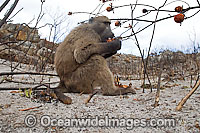 Chacma Baboon Photo - Chris & Monique Fallows