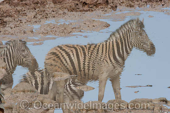 Plains Zebra's (Equus burchelli) reflections at a water hole. Also known as Common Zebra and Burchell's Zebra. Africa Photo - Chris & Monique Fallows