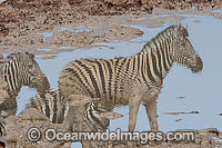 Plains Zebras Photo - Chris & Monique Fallows