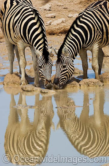 Plains Zebra's (Equus burchelli) drinking at a water hole. Also known as Common Zebra and Burchell's Zebra. Africa Photo - Chris & Monique Fallows