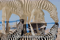 Plains Zebras drinking at waterhole Photo - Chris & Monique Fallows