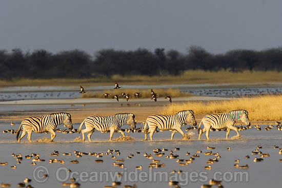 Plains Zebra (Equus burchelli) herd crossing a water way. Africa Photo - Chris & Monique Fallows