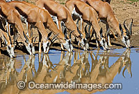 Thomson's Gazelle at water hole Photo - Chris & Monique Fallows