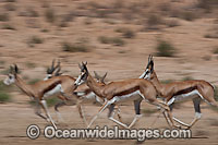 Thomson's Gazelle Photo - Chris & Monique Fallows