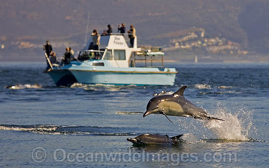 Short-beaked Common Dolphin (Delphinus delphis) with tourist boat. Found in warm-temperate and tropical seas throughout the world. Photo taken at Cape Town, South Africa