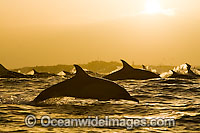 Common Dolphins porpoising photo