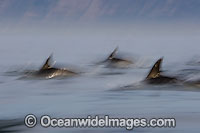 Short-beaked Common Dolphins Photo - Chris and Monique Fallows