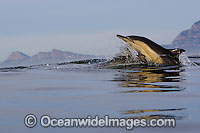Common Dolphin leaping Photo - Chris and Monique Fallows