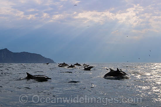 Short-beaked Common Dolphins (Delphinus delphis). Found in warm-temperate and tropical seas throughout the world. Photo taken at Cape Town, South Africa