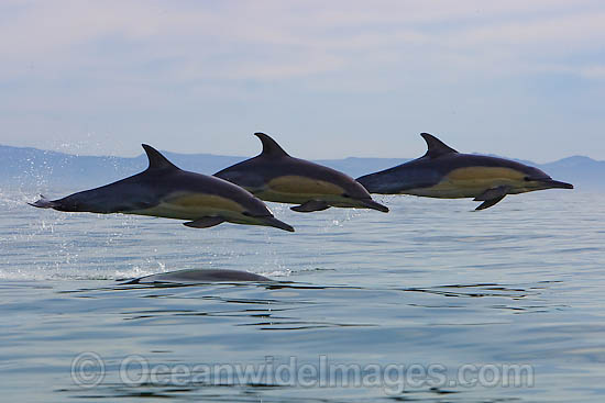 Short-beaked Common Dolphins (Delphinus delphis). Found in warm-temperate and tropical seas throughout the world. Photo taken at Cape Town, South Africa Photo - Chris and Monique Fallows