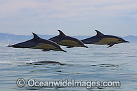 Common Dolphins Photo - Chris and Monique Fallows