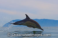 Short-beaked Common Dolphin porpoising photo