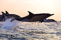 Short-beaked Common Dolphin Photo - Chris and Monique Fallows