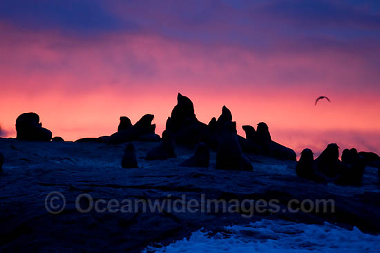 Cape Fur Seal colony at sunset