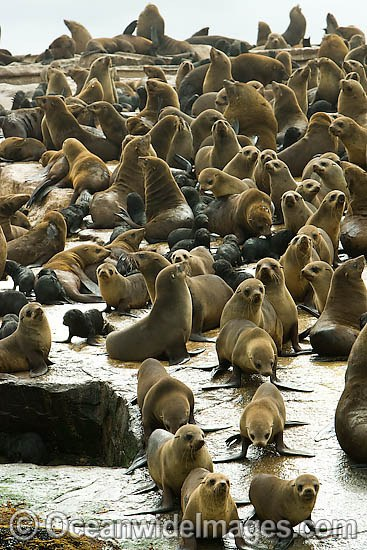 Cape Fur Seal (Arctocephalus pusillus pusillus) colony. Seal Island, False Bay, South Africa Photo - Chris & Monique Fallows