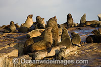 Cape Fur Seal colony Photo - Chris & Monique Fallows