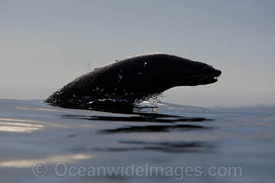 Cape Fur Seal (Arctocephalus pusillus pusillus) leaping through the surface. Seal Island, False Bay, South Africa