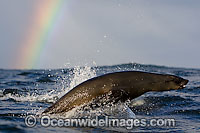 Cape Fur Seal leaping through surface Photo - Chris & Monique Fallows