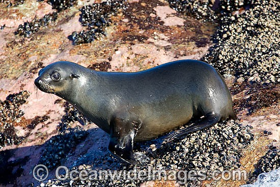 Cape Fur Seal (Arctocephalus pusillus pusillus). Seal Island, False Bay, South Africa