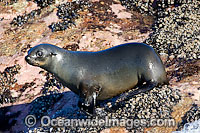 Cape Fur Seal Photo - Chris & Monique Fallows