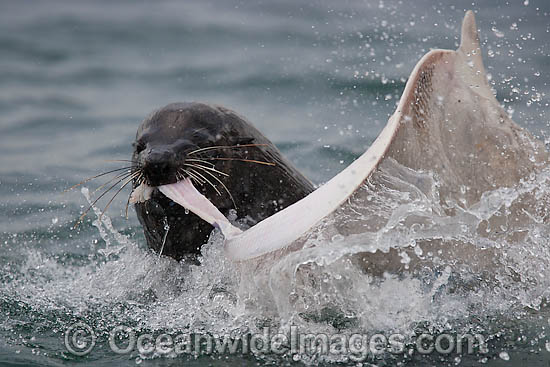 Cape Fur Seal (Arctocephalus pusillus pusillus) feeding on a captured Spearnose Skate (Raja alba). Seal Island, False Bay, South Africa
