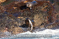 Cape Fur Seal feeding on shark Photo - Chris & Monique Fallows