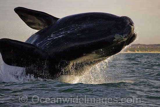 Southern Right Whale (Eubalaena australis) breaching on the surface. Photo taken in False Bay, South Africa. Classified Vulnerable on the IUCN Red List. Photo - Chris and Monique Fallows