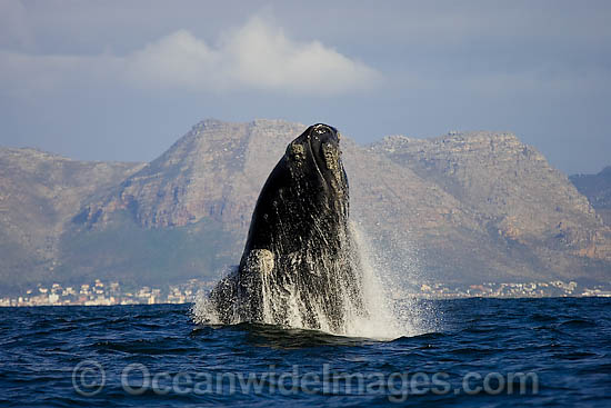 Southern Right Whale (Eubalaena australis) breaching on the surface. Photo taken in False Bay, South Africa. Classified Vulnerable on the IUCN Red List.