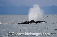 Southern Right Whales blowing Photo - Chris and Monique Fallows