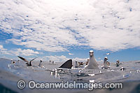 Shy Albatross with Blue Shark image