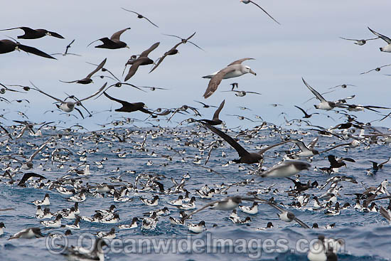 Large flock of Cape Petrels, also known as Cape Pigeon (Daption capense), Southern Giant Petrel (Macronectes giganteus) and Shy Albatross (Thalassarche cauta), feeding on the surface. Cape Point, South Africa
